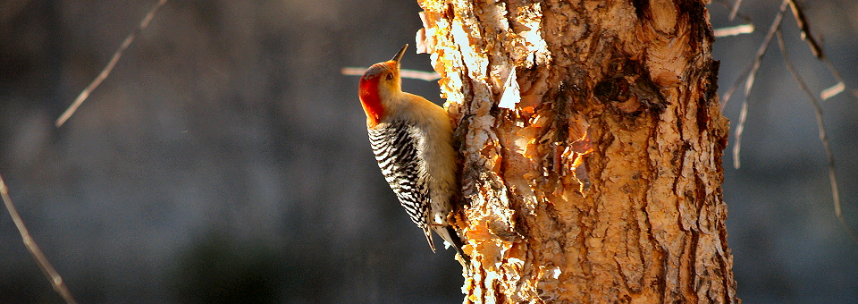 feature_woodpecker